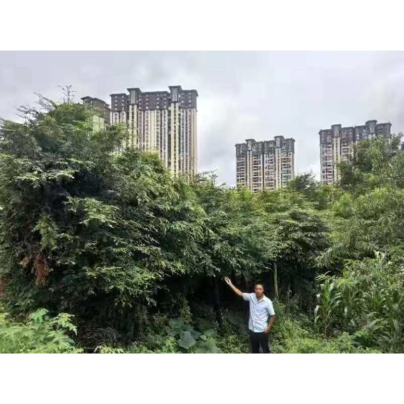 两江峡谷|湖北红豆杉苗圃|邵阳红豆杉价格