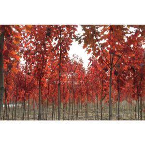紅冠紅楓是美國紅楓中最新的品種,也是秋色表現最好的品種