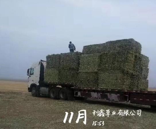 赤峰燕麦草