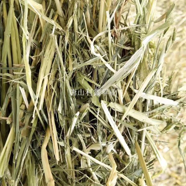 甘肃燕麦草批发商