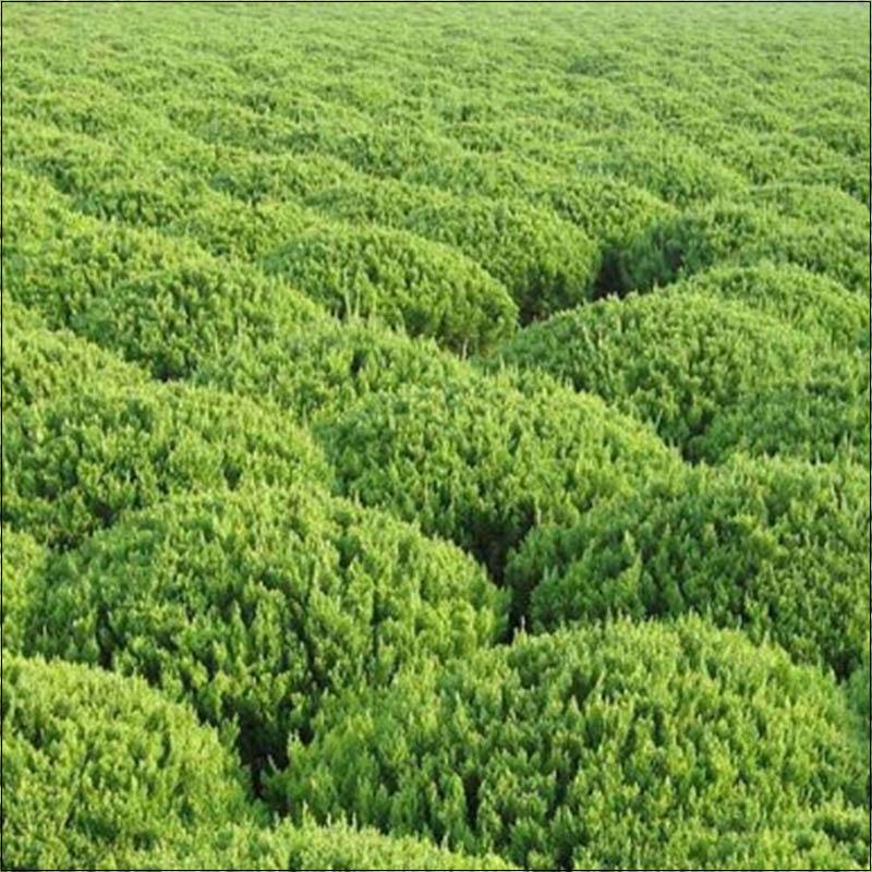绿化苗木系列