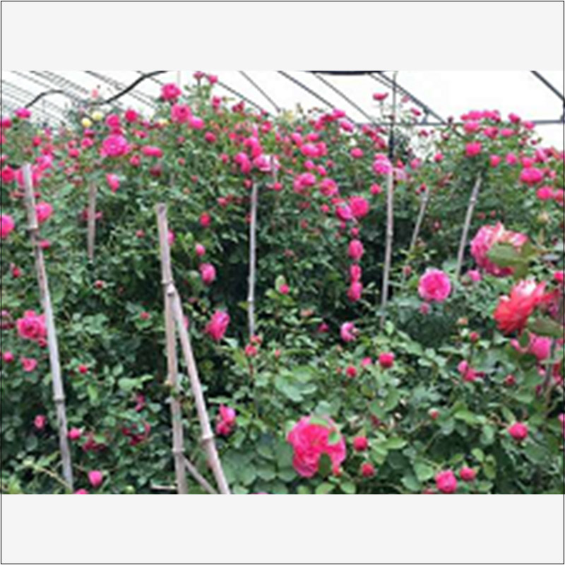 玫瑰月季系列