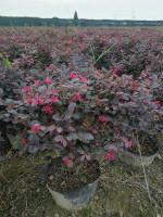 金华红花檵木