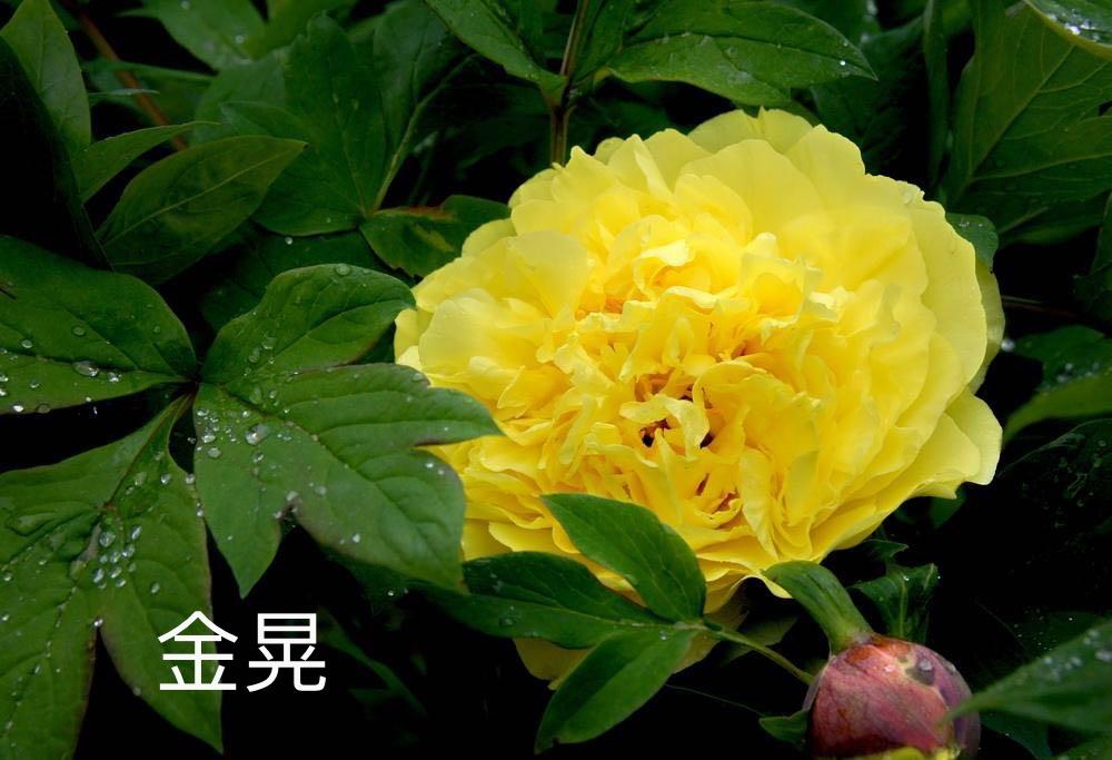 新品—牡丹花