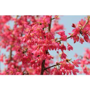 中國紅櫻花也是臺灣鐘櫻,是選育新品種,花大紅色