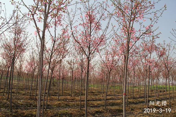 陽光櫻花先葉開放,嫩葉綠色,花蕾紅色,花粉紅色,花瓣5枚,花瓣近圓形