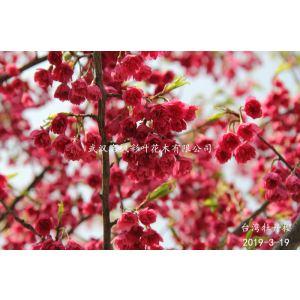 臺灣牡丹櫻花是重瓣紅色櫻花,層層疊疊似燈籠