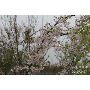 八重紅枝垂櫻也叫美國垂枝櫻花,樹形猶如垂柳,隨風飄蕩