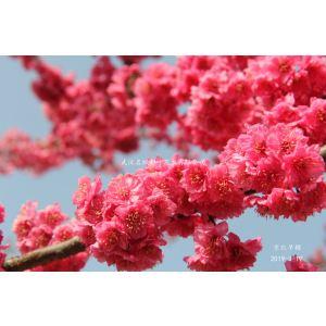 京紅早櫻是能夠種到北京去的櫻花,耐寒,花期長