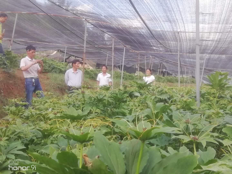 茂林农业|昆明滇重楼|云南滇重楼