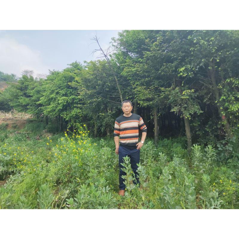 两江峡谷|广西红豆杉|广西红豆杉种植