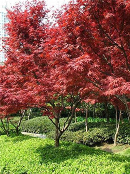 中國紅楓-001