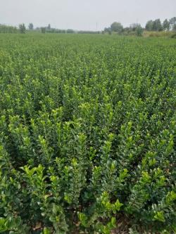 唐山绿化苗木