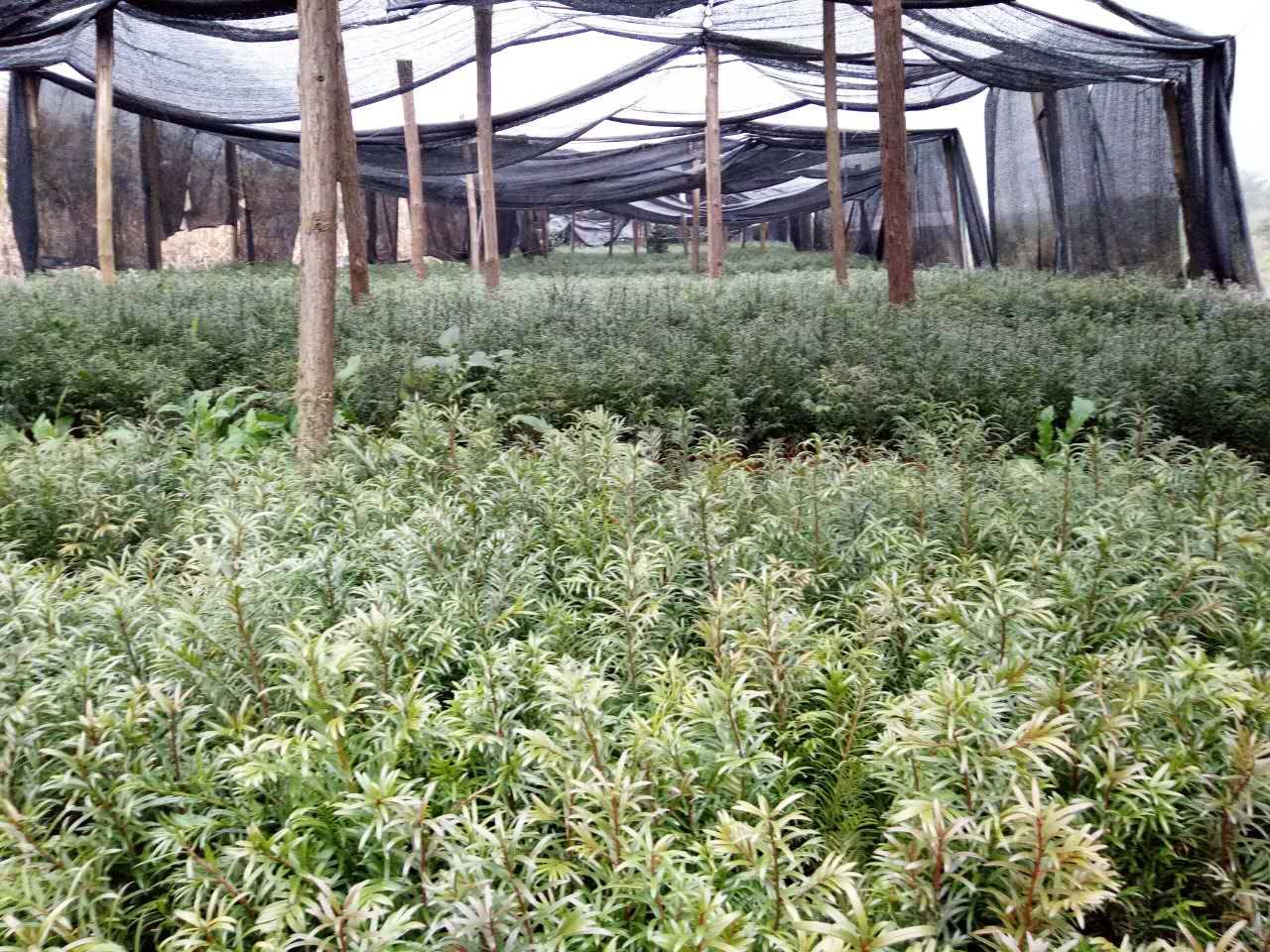 贵州红豆杉