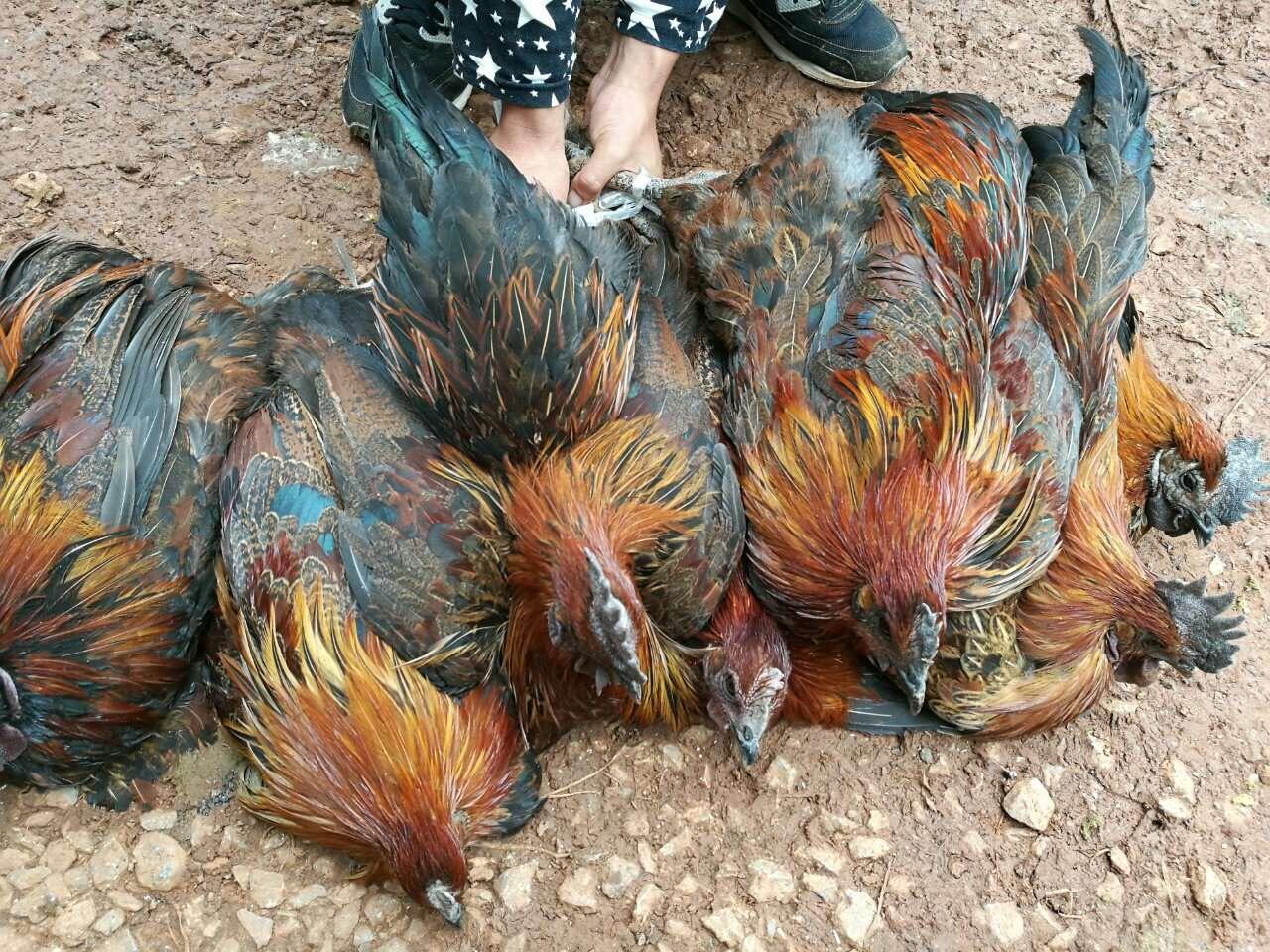 养鸡挣钱的十条铁规律,收藏吧!