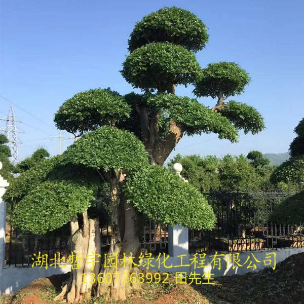 对节白蜡占地树