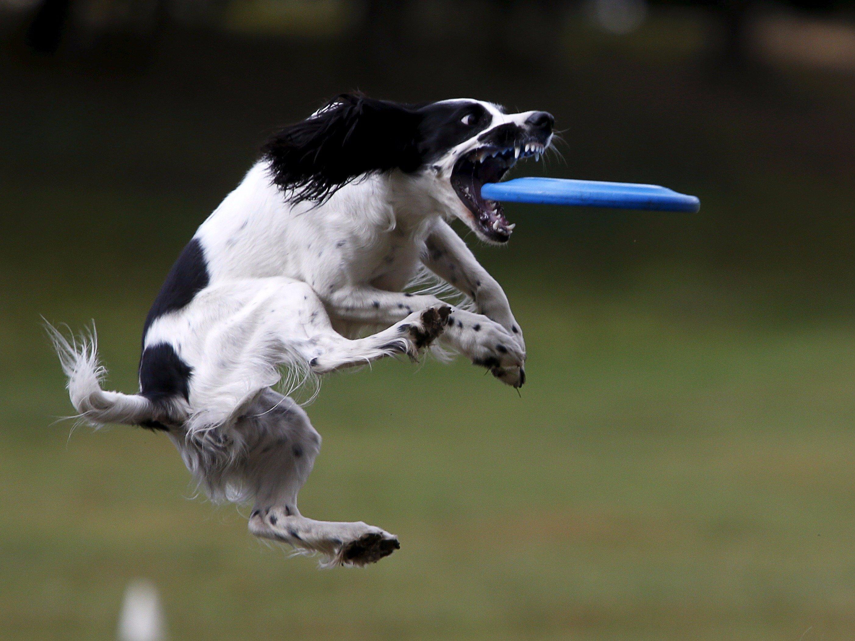 犬飞盘训练