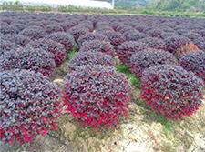 常见净化空气绿植花卉(对人体有益的绿植花