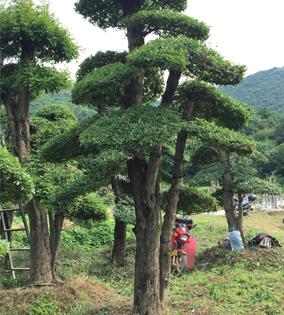 对节白蜡景观树04