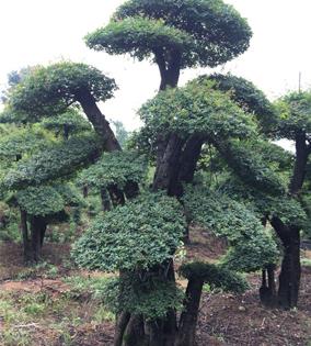 对节白蜡景观树07