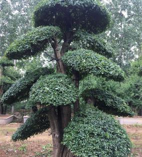对节白蜡景观树14