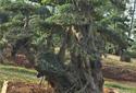 如何让对节白蜡景观树造型更有生气?