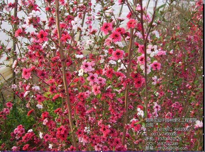 松紅梅(又稱臘梅、松雪梅)花色有紅、粉紅、桃紅、白等多種顏色