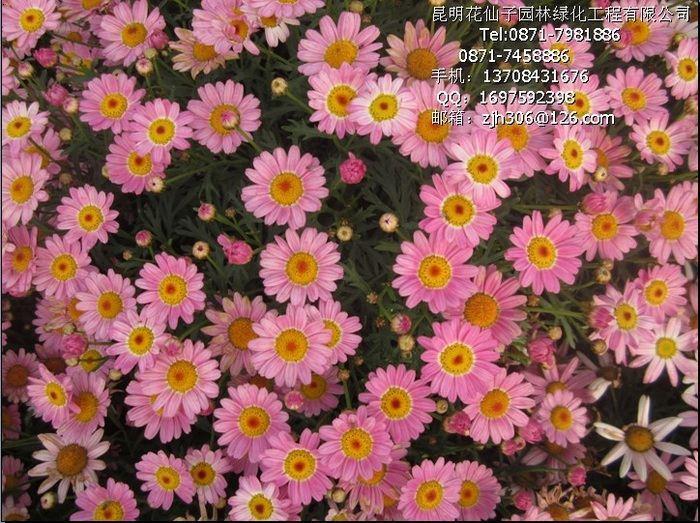 瑪格麗特(蓬蒿菊、糖果瑪、木春菊、東洋菊、法蘭西菊、小牛眼菊)