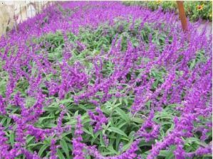 紫柳(又稱墨西哥鼠尾草)葉片久狀披針形,對生,上具絨毛,有香氣。輪傘花序,頂生,花紫色,具絨毛,白至