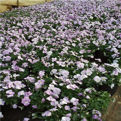 角堇(Violacornuta),堇菜科堇菜屬多年生草本,常做一年生栽培。株高10~30厘米,莖較短而直立,花徑2.5