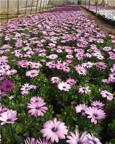 南非萬壽菊是菊目,菊科的植物。別名:大芙蓉、臭芙蓉