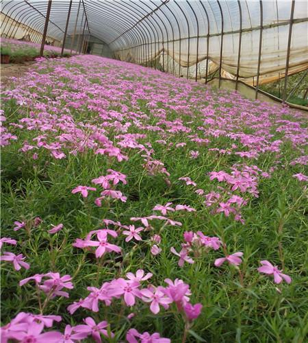 芝櫻(shibazakura)極為耐旱,葉片為細小針葉,葉表為蠟質,莖木質化,可大大減少水分蒸發。芝櫻抗病性強,