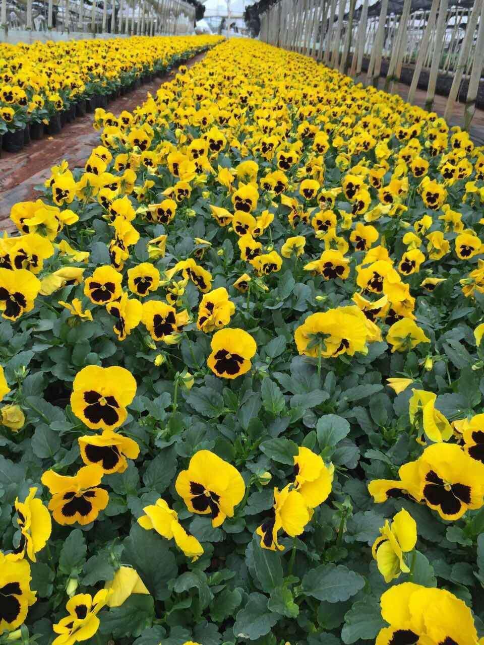三色堇(學名:ViolatricolorL.)是堇菜目、堇菜科、堇菜屬的一、二年草本植物。
