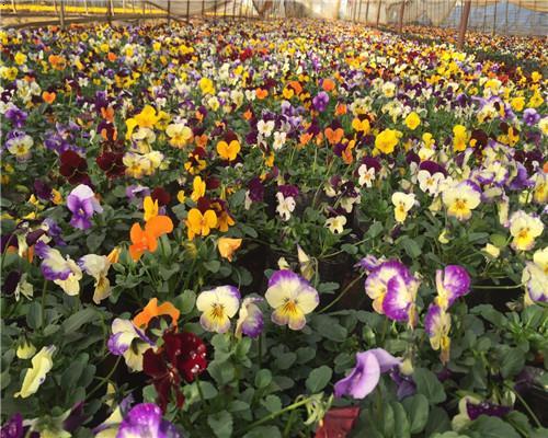 角堇(jǐn)(Violacornuta),堇菜科堇菜屬多年生草本,常做一年生栽培。株高10~30厘米,莖較短而直立
