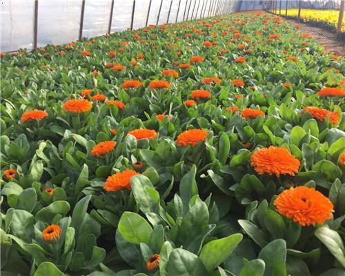 金盞菊(Calendulaofficinalis)又名金盞花,古代西方作藥用或染料,也作化妝品或食用,葉和花瓣可食用,
