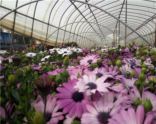 南非萬壽菊,別名:大芙蓉、臭芙蓉,學名:Osteospermumecklonis,菊目,菊科的植物。