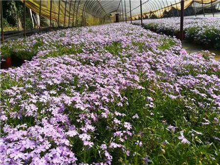 芝櫻(sakura)極為耐旱,葉片為細小針葉,葉表為蠟質,莖木質化,可大大減少水分蒸發。