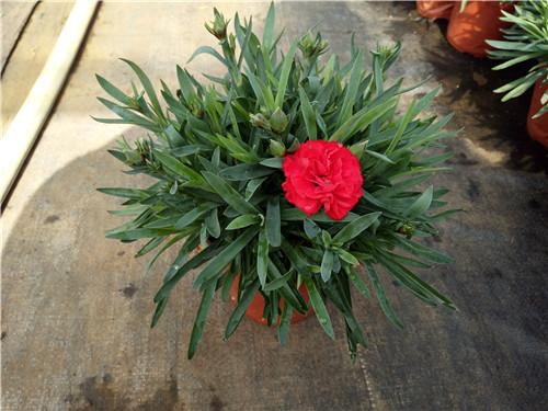 康乃馨為石竹科石竹屬的植物,多年生草本,叢生,無毛全體乳綠色。莖直立,高30-60厘米