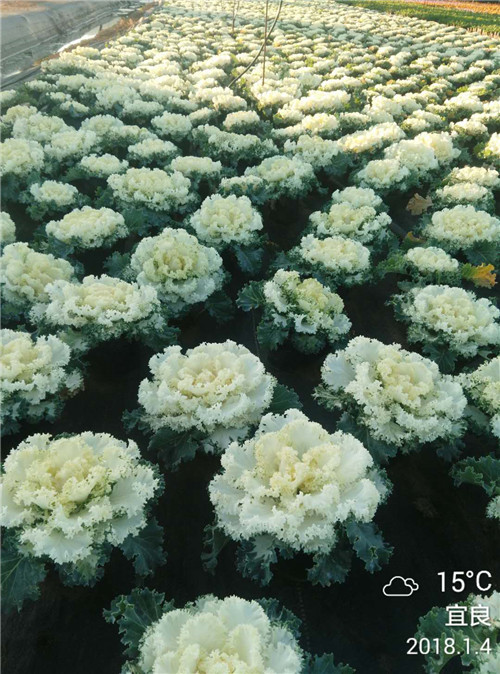 羽衣甘藍(學名:Brassicaoleraceavar.acephalaf.tricolor),二年生草本植物