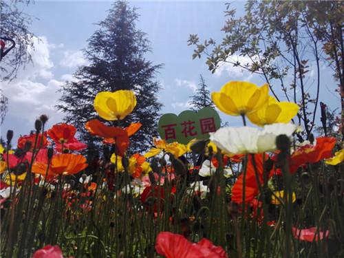 虞美人(學名:Papaverrhoeas)屬一年生草本植物,原產歐洲,中國各地常見栽培,為觀賞植物。