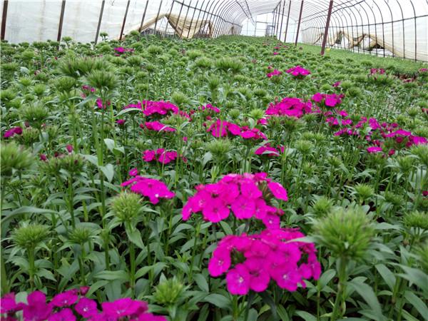 石竹梅多年生草本,常作二年生花卉栽培。