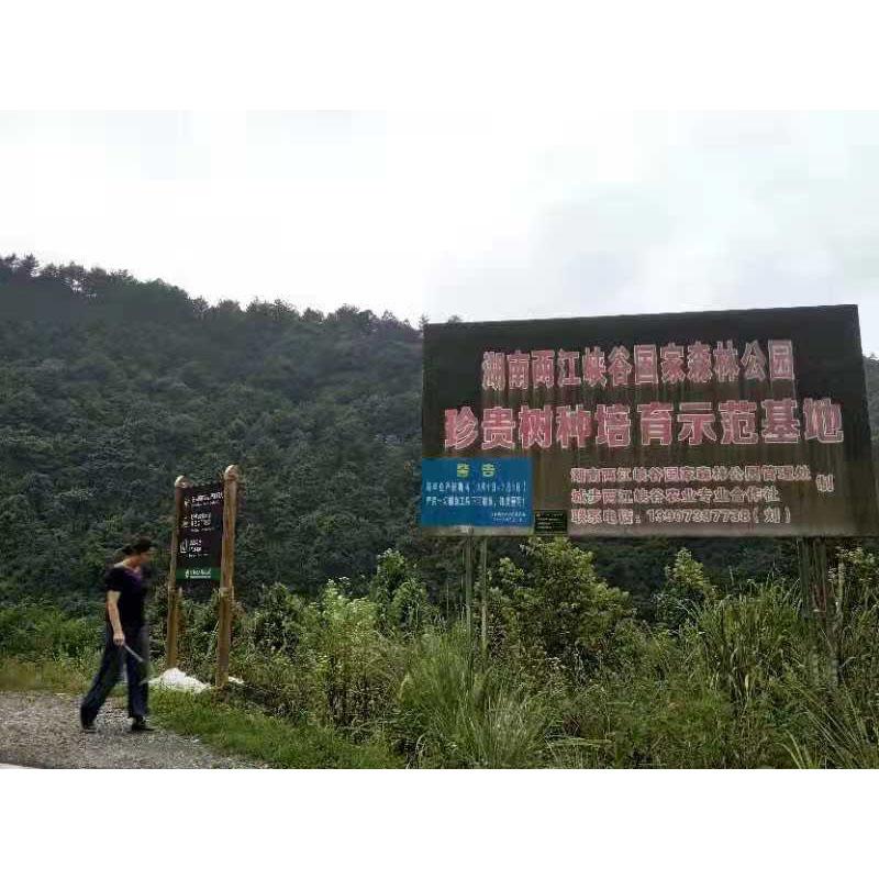 贵州红豆杉幼苗10