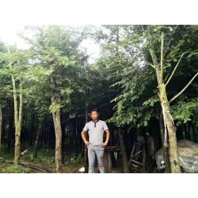 湖南红豆杉16