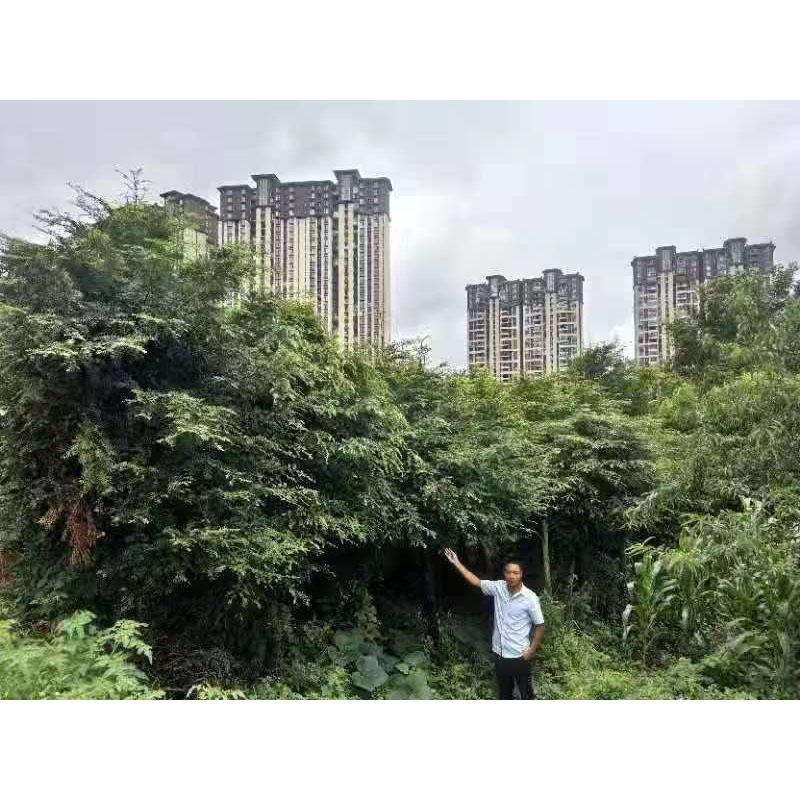 贵州红豆杉18