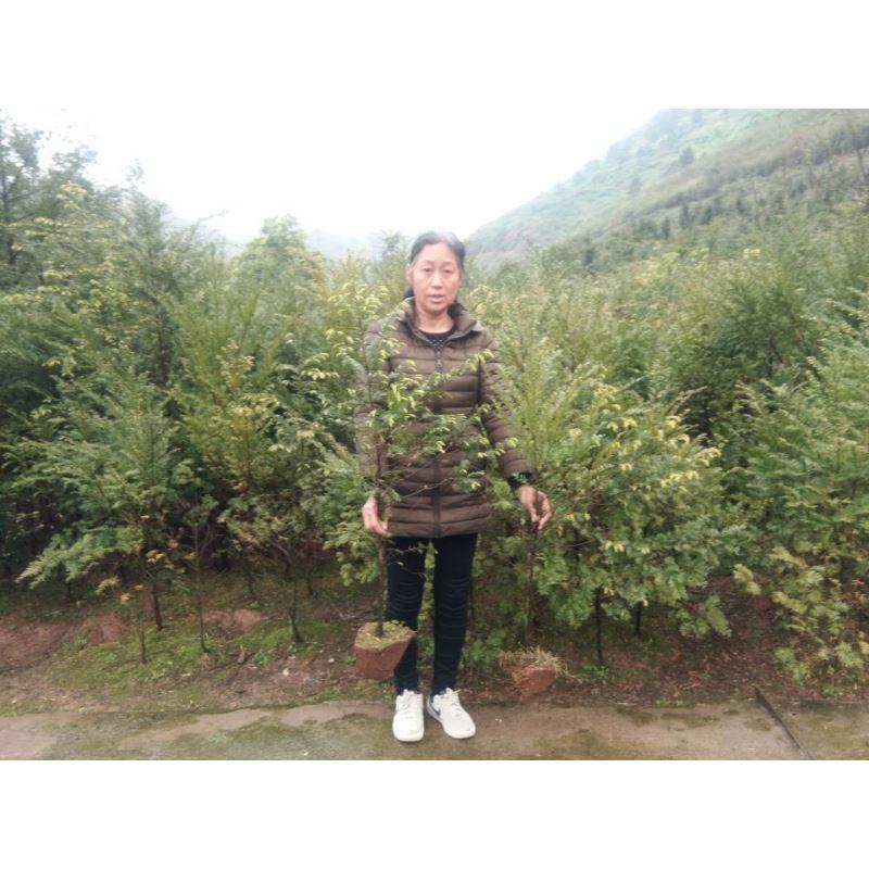 湖南红豆杉幼苗